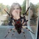 Wolf Spider - Aranha de jardim