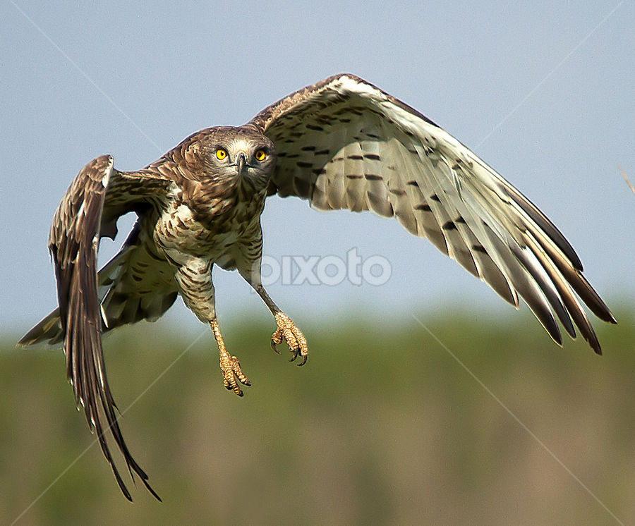 Hunt for Snake by Jineesh Mallishery - Animals Birds ( shot-toed snake eagle, jineesh, wildlife )