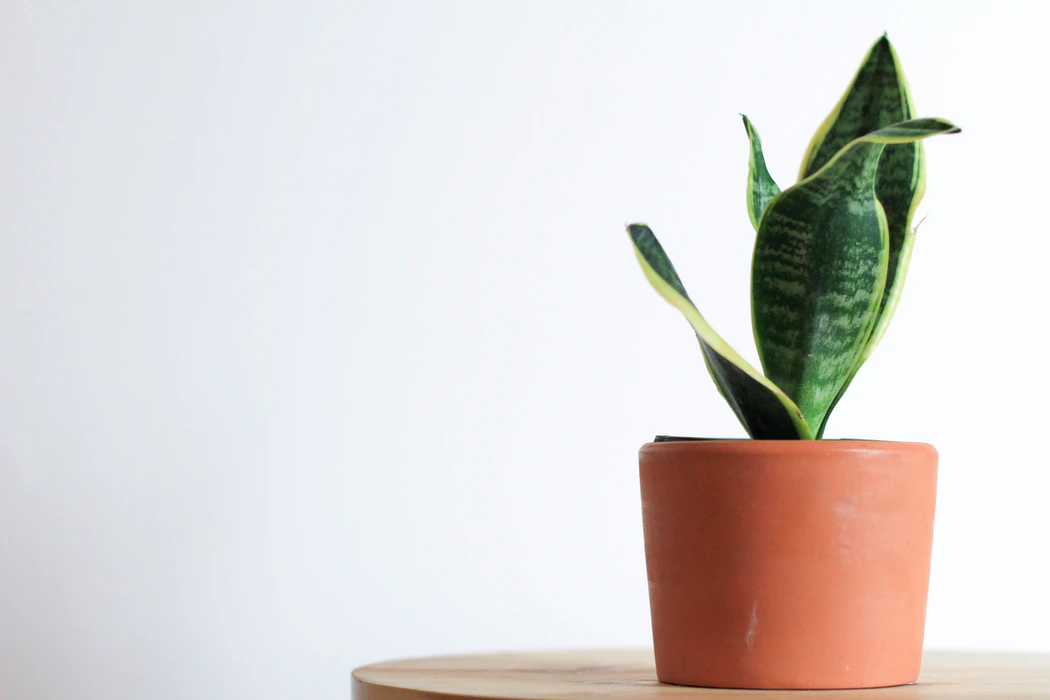 Small snake plant (large green flat leaves with lighter green edges) in a clay pot on a table.