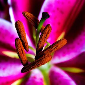 Anteras of Chinese Lily!!! by Eliseu Paes - Nature Up Close Flowers - 2011-2013 ( lily, lirio, lirio chinês, chinês, chinese )