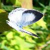 Common Blue (female)
