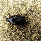 Dark flower scarab beetle