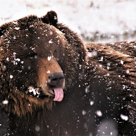 Catching snowflakes by Linda Douglass - Animals Other