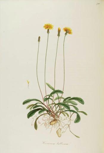 Aetheorhiza bulbosa