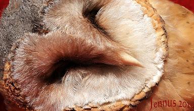 Photo: Die Schleiereule brütet ab Ende März, meist jedoch erst Anfang Mai. Nach 30 bis 34 Tagen schlüpfen die jungen Eulen. Männchen und Weibchen sind äußerlich nicht zu unterscheiden. Schleiereulen können ihren Gesichtsausdruck verändern und Grimassen schneiden. Die einzelnen Federn können weggestreckt, aufgestellt oder zur Seite geklappt werden. Ihr Gegenüber weiss darum immer, ob sie gerade ängstlich oder verärgert, erstaunt oder verliebt ist. Am liebsten nistet sie in Kirchtürmen, im Gebälk von Scheunen sowie in Mauernischen von Ruinen. Trotz Flügelspannweiten bis zu ca. 90 cm wiegt sie nur ca. 300 gramm. Ihre hohlen Knochen sind extrem leicht.