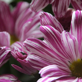 Chrysanthemums by Vicki Clemerson - Flowers Flower Arangements ( petals, pink and white petals, chrysanthemums, pink, stripes, flowers, pink and white,  )