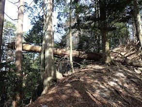 大木の倒木