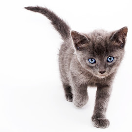 Vince at 6 weeks by Malcolm Smith - Animals - Cats Kittens ( cat kitten blue eyes )