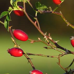 Rose hips by Arif Burhan - Uncategorized All Uncategorized ( fruit, red )