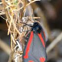 Cinnabar moth; Polilla cinabrio