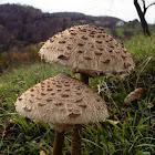 The parasol mushroom