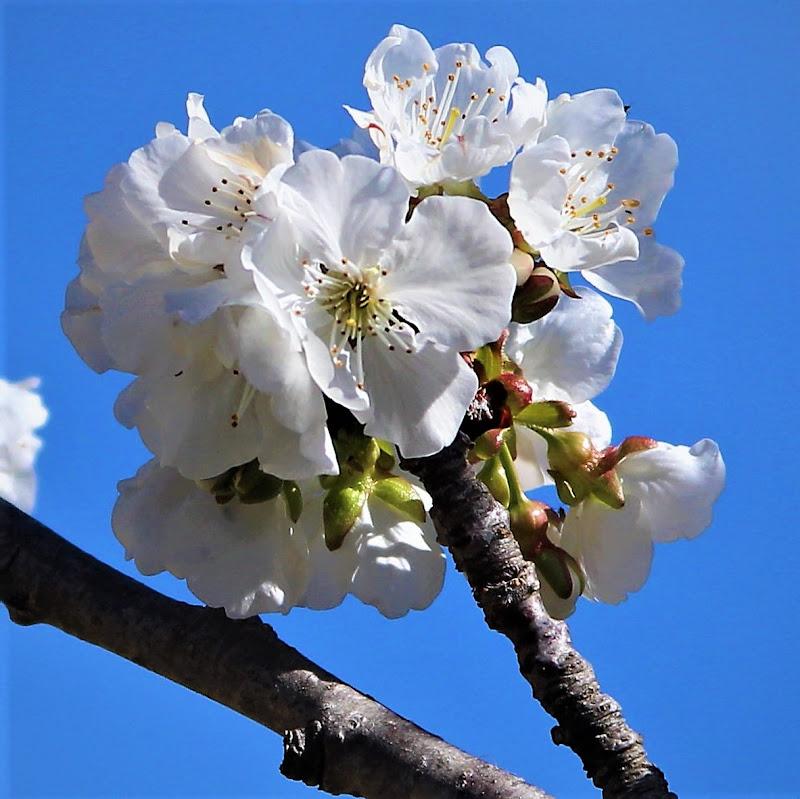 il mandorlo in fiore fiorisce solo in primavera di Gero
