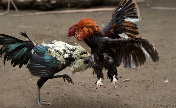 Kết quả hình ảnh cho trang cá cược đá gà