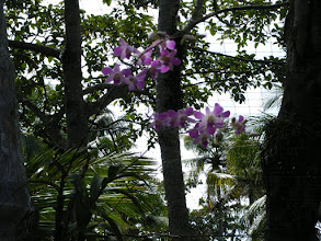 Photo: Beautiful purple orchids in bloom on the tree trunks