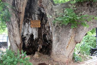 Photo: Ο πλάτανος του Παυσανία στο Αίγιο (Βοστίτσα)