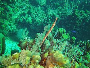 Photo: Trumpetfish