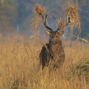 Barasingha decked up to woo the ladies by Shreyas Kumar - Animals Other Mammals ( barasingha, boorsingh the barasingha, antler, kanha tiger reserve )