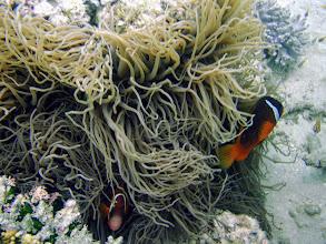 Photo: Amphiprion barberi (Fiji Tomato Clownfish) with Heteractis crispa (Sebae Anemone), Naigani Island, Fiji