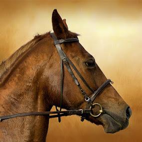 Szellő by Zoltán Túri - Animals Horses
