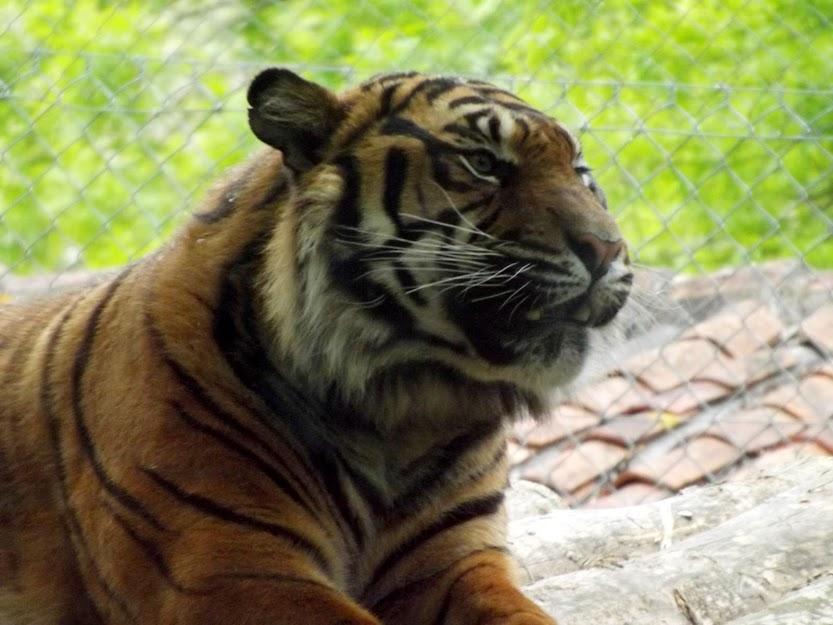 Tigre de Sumatra, la Boissière du Doré - Tous droits réservés