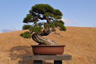 Photo: Another bonsai sunbathing by the hill.