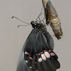 Ruby-spotted Swallowtail or Red-spotted Swallowtail