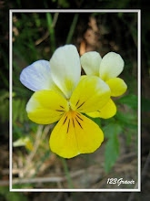 Photo: Pensée sauvage, Viola tricolor