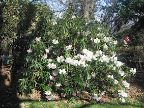 Photo: Rhododendron hunnewellianum