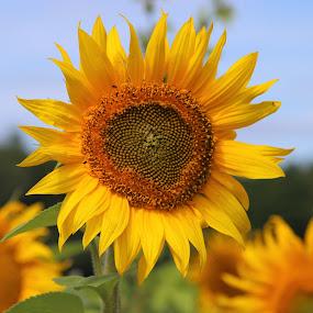 sunflowers by Carola Mellentin - Flowers Flowers in the Wild (  )