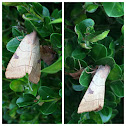 Bent-Line Dart Moths