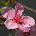 Peach tree (ροδακινιά)