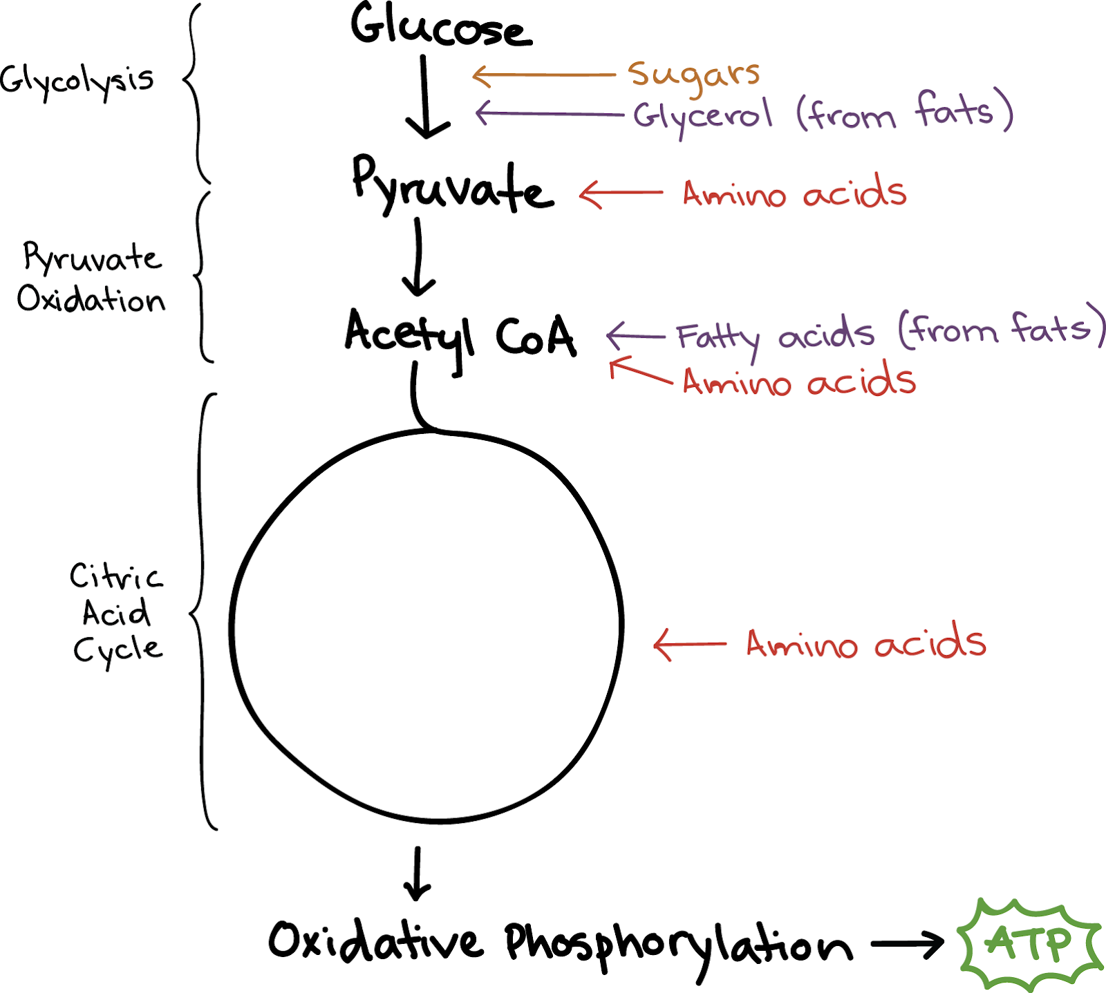 Cellular Respiration Breakdown and Macros - Category5™