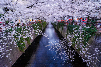 Photo: Cherry Blossoms in full bloom in Nakameguro, Tokyo