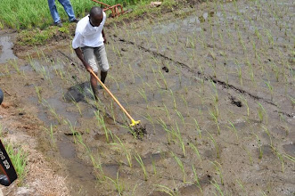 Photo: A farmer demonstrating the use of a single row manual weeder in Zubah Town, Paynesville, Monrovia, Liberia. (Photo by Erika Styger, Feb 2014)