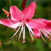 """Lindheimer's beeblossom """"siskiyou pink"""""""