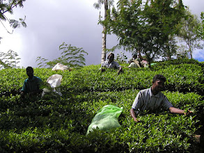 Photo: Male Tea Pickers In Sri Lanka. Sometimes they pick on the lower slopes while the woman go the higher more difficult areas. They all belong to a tea pickers union