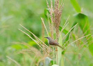 Photo: Prinia alirroja (Heliolais erythropterus)