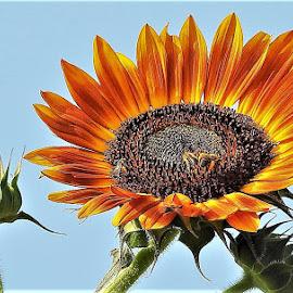 giant sunflower  by Mary Gallo - Flowers Flower Gardens ( nature, nature up close, garden flower, sunflower, flower,  )