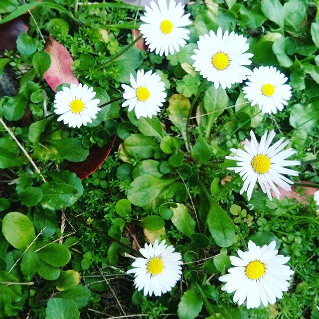 My garden-  Dettagli di primavera    #like4like #tagsforlikes #spring #daisies #goodmorning di smart