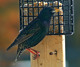Photo: My last one this week for #BackyardBirdingMonday, from way back in 2008. curated by +Celeste Odono and +Ricky L Jones  This European Starling was one of many attacking the feeders in early spring.
