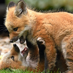 Fox kits playing by Steven Liffmann - Animals Other Mammals ( fox )