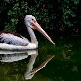 by Lim Darmawan - Animals Birds ( reflection, reflections, mirror )