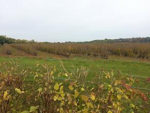 Photo: Un peu des 150 hectares de cassissiers.