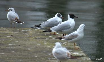 Photo: Озерная чайка (Larus ridibundus), Янина. Взрослая и первогодки.