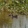 common moorhen,