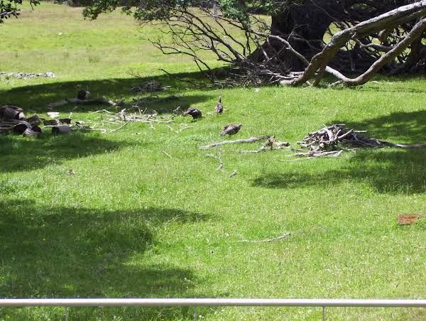 New Zealand Feral Turkeys In Paddock.
