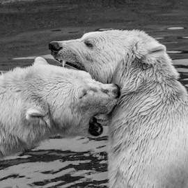 Polar bears by Garry Chisholm - Black & White Animals ( polar bear, mammal, nature, garry, chisholm )
