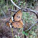 Plain Tiger Butterflies