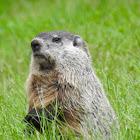 Groundhog (aka woodchuck, whistlepig)