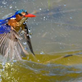 Malachite Kingfisher rising by Hennie Cilliers - Animals Birds ( animal, motion, animals in motion, pwc76 )